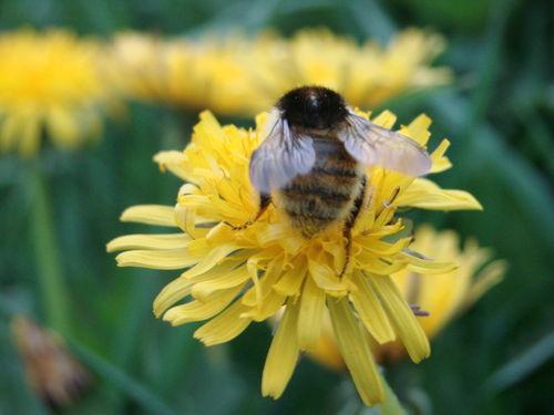 2008 05 11 Une abeille sur une fleur de pissenlit