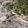 Richesse de la dune littorale corse !...