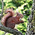 écureuil roux 05.2015