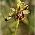 Ophrys <b>araignée</b> : Ophrys aranifera