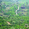 Champs de thé - Munnar
