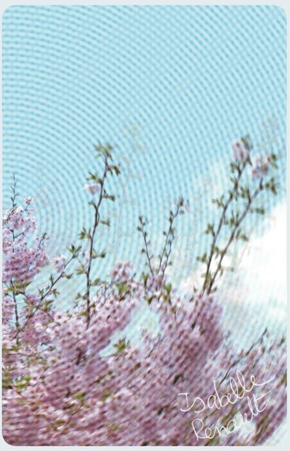 fleur_cerisier