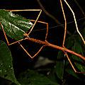 Phanocloidea muricata (femelle)