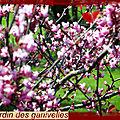 Petite promenade, cercis en fleurs