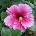 Hibiscus simple