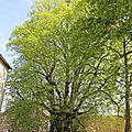 LE TILLEUL DE VEILLY, UN <b>ARBRE</b> REMARQUABLE SANS AUCUN DOUTE ! Planté aux environs de 1610. ( non référencé comme tel) 24/04/15.