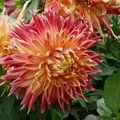2008 09 26 Une fleur de dahlias rouge orangé