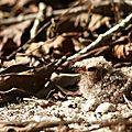 Caprimulgus nigrescens (poussin)