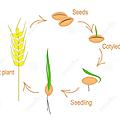 Évangile et homélie du dim 18 mars 2018. si le grain de blé tombé en terre meurt, il donne beaucoup de fruits