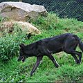 Loup de Mackensie