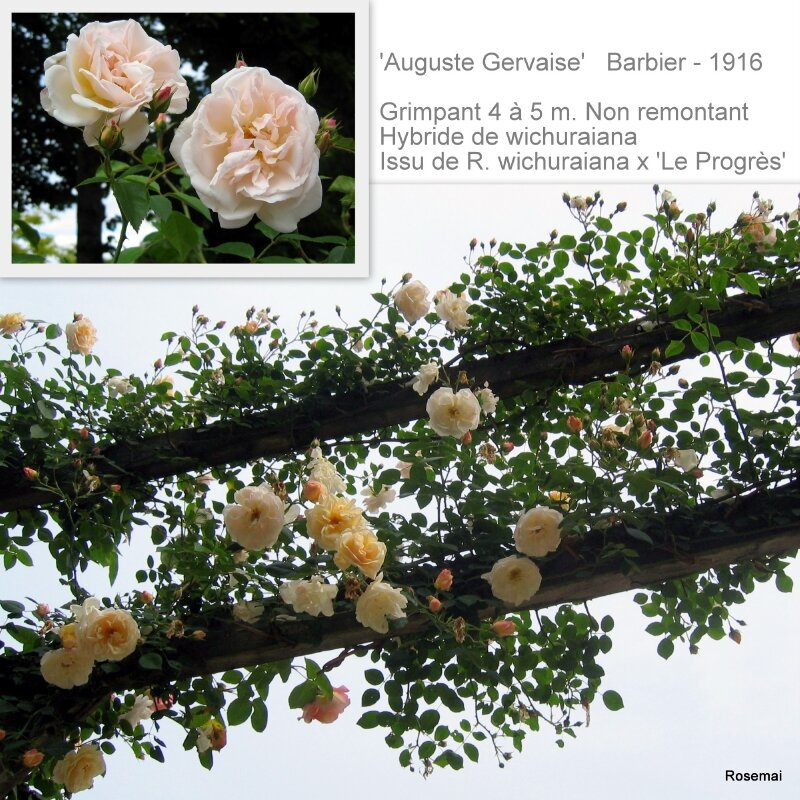 'Auguste Gervaise' - BARBIER (1916)