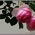 Roses anciennes 290515
