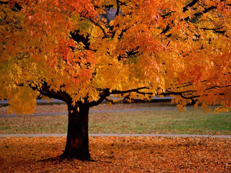 les feuilles mortes ....