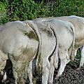 Les taureaux de la ferme en 2018 a vendre ( dernières photos prises)