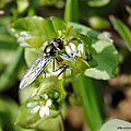 Un petit <b>syrphe</b> pas frileux : Meliscaeva auricolis