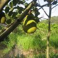 Vietnam: jackfruit
