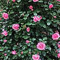 Festival de rose(s)
