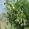 2008 08 18 Mes tomates coeurs de boeufs