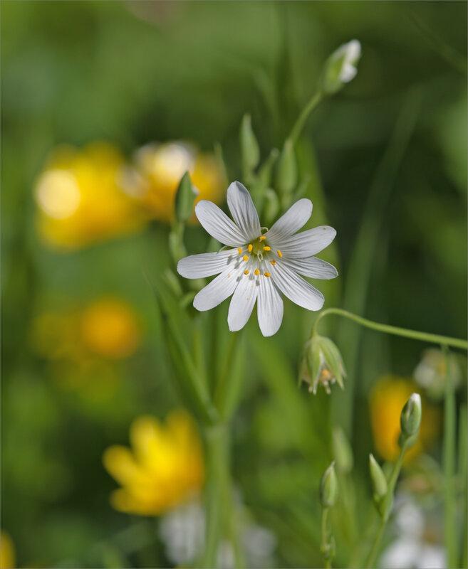 RNR matin 100 170418 9 fleur anémone Sylvie