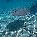 Bora bora : nage avec les raies et les requins