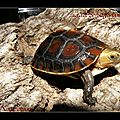 Cistoclemmys flavomarginata flavomarginata (9) (Copier)