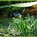 Iris jaunes 2804153