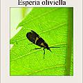 Esperia oliviella (Fabricius, 1794)