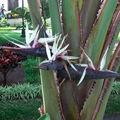 Strelitzia nicolai • Oiseau de Paradis blanc • Strelitziaceae