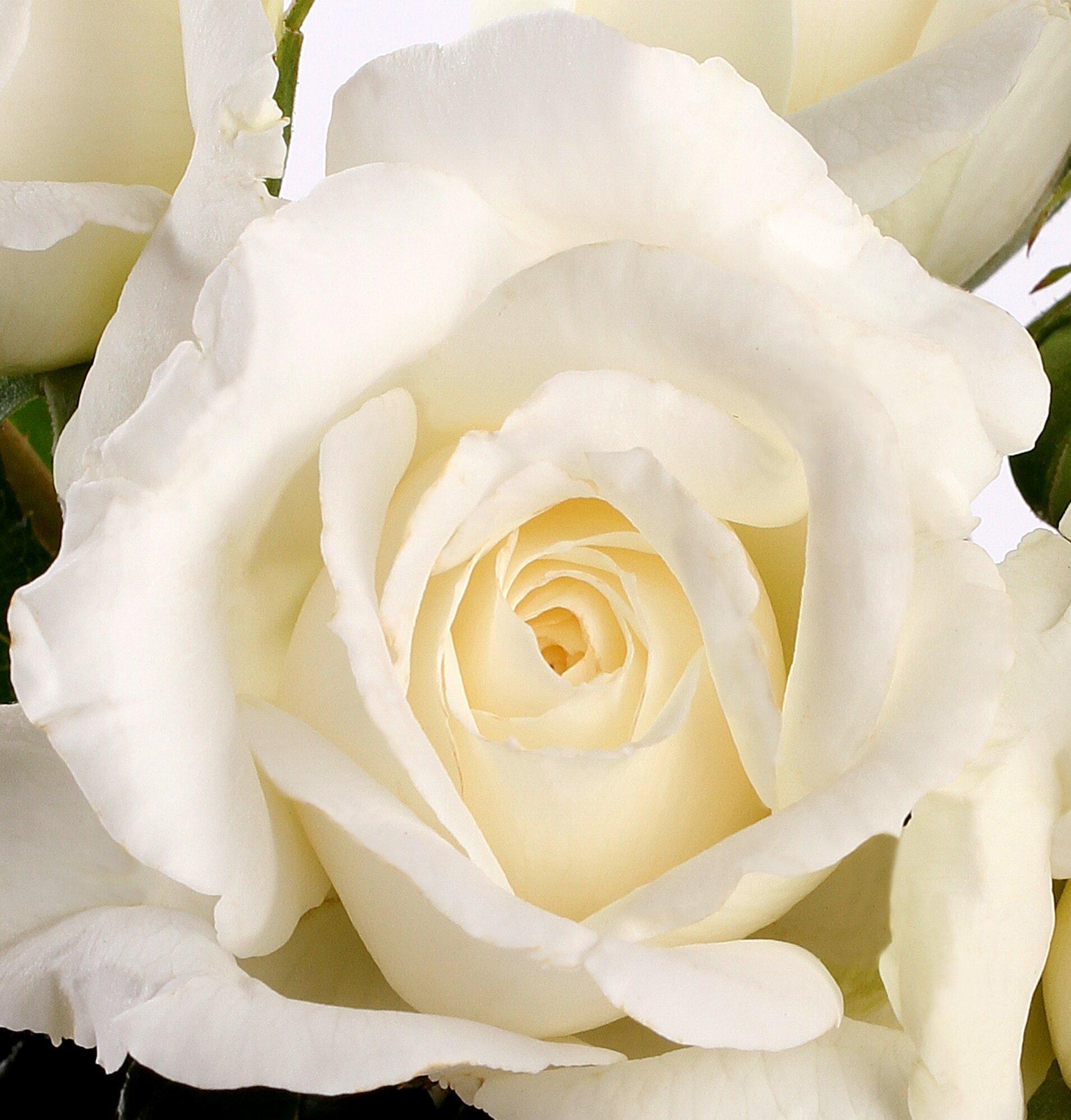 La rose Anne de Kiev