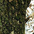 Grimpereau des jardins-1