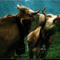 cows have a secret mental life