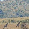 Dans la savanne avancent nonchalamment les girafes