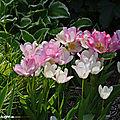 La petite collection de <b>tulipes</b> de mon jardin...
