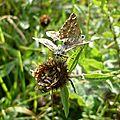Grisettes, Hespéries de l'Alcée (Carcharodus alceae) in copula