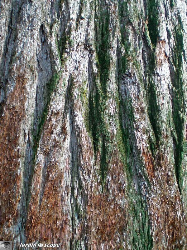 Séquoia géant • Sequoiadendron giganteum buch • F. Taxodiaceae