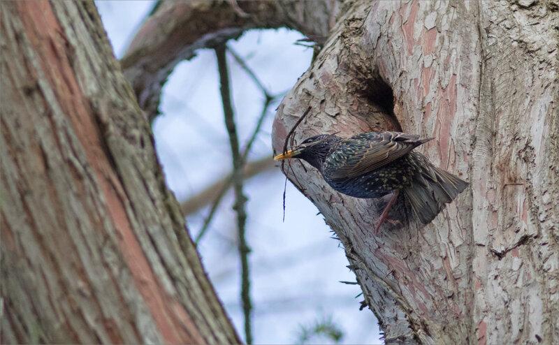 oiseau étourneau branchettes technique 4 050418