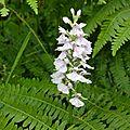 Orchis à feuilles tachetées (aizier 27)