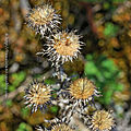 Chardon doré * <b>Common</b> carline thistle