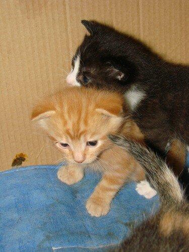 2008 04 04 Deux petits chaton de Papillon à 3 semaines et un jour