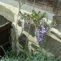 Premières fleurs de la glycine ...