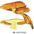 IH1 pl 63 448 Gymnopilus spectabilis