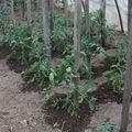 2009 05 25 Mes tomates tuterés et taillés