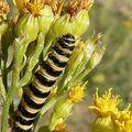 Tyria jacobea (chenille)