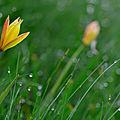 Des tulipes en belledonne