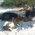 Bronzette bovine