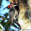 Pic ouentou (dryocopus lineatus)