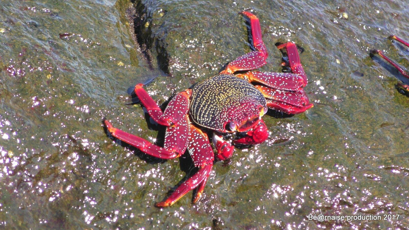 Crabe (Los Concajos, La Palma, août 2017)