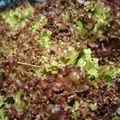 Salade Lolo rouge
