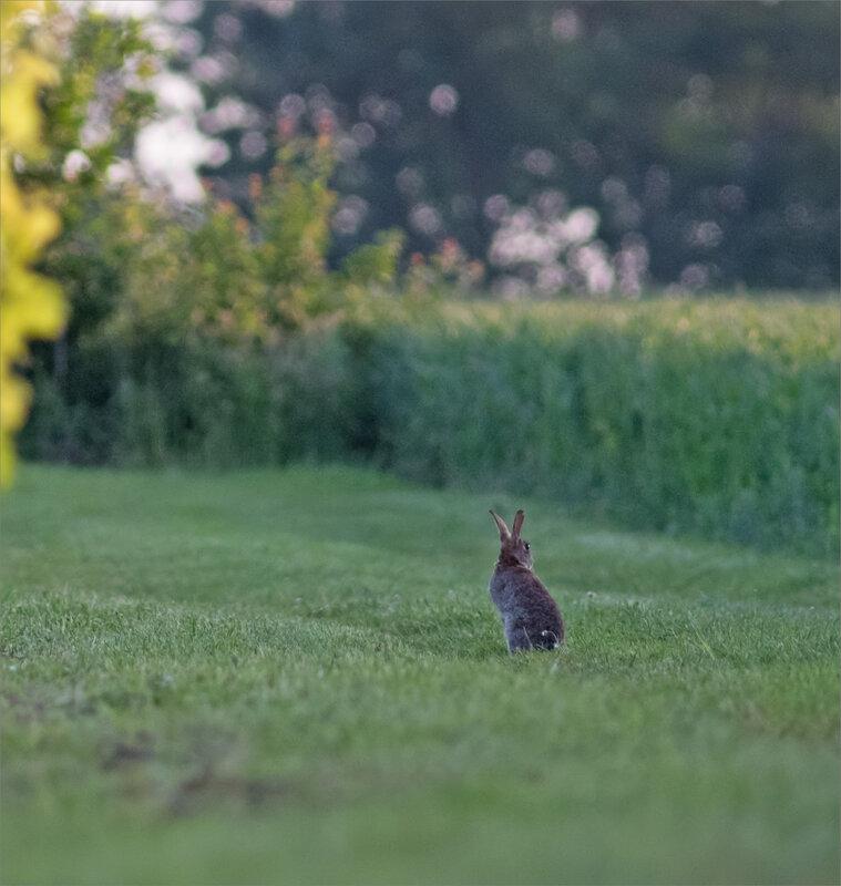 plaine lapins matin 190518 ym 9