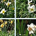 Les narcisses au jardin de berchigranges